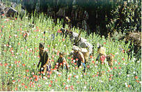 Poppy plantation in Chiang Mai