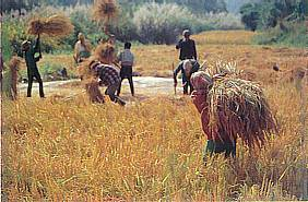 Rice Harvest in Chiang Mai